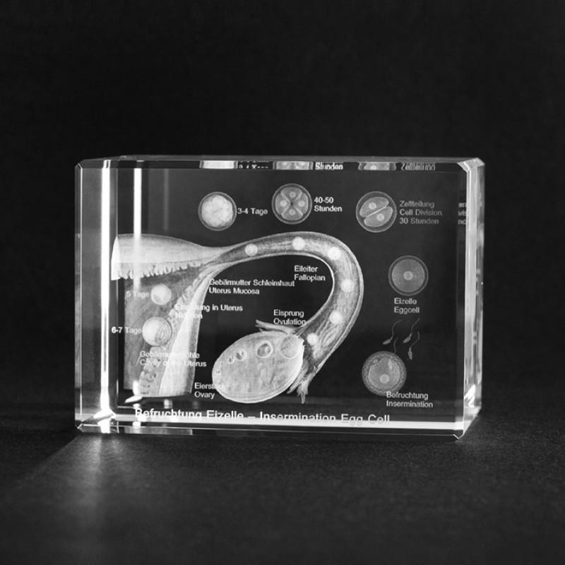3D Anatomiemodell Befruchtung einer Eizelle in Glas gelasert.
