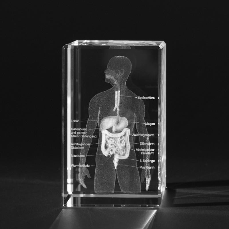 3D Anatomie Modell – 3D Oberkörper des Menschen mit Verdauungssystem
