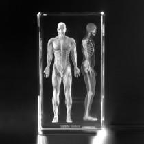 3D Modell menschliches Muskelsystem. 2 Ansichten in Glas gelasert