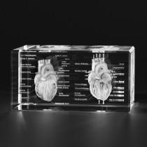 3D Modelle vom menschlichen Herz. Anatomie, Innere Organe in Glas mit Detail-Beschriftung