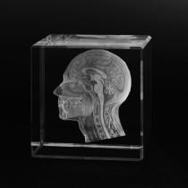 3D Schädel Seitenschnitt - Kopf